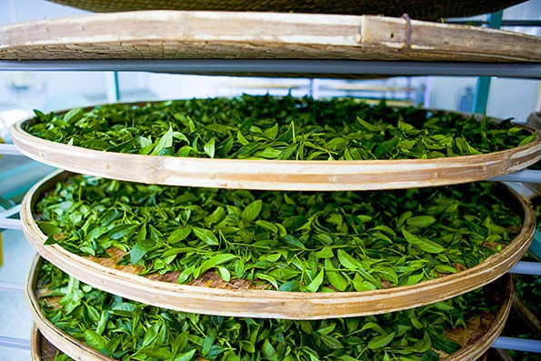 Fresh tea leaves.