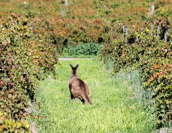 A roo on Kangaroo Island.