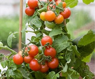 Spring gardening, tomatoes
