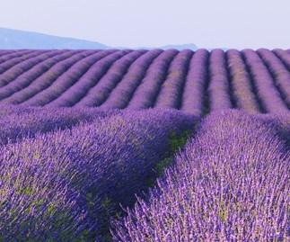 Paint the town lavender