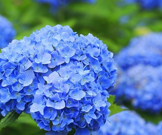 How to change a hydrangea's colour