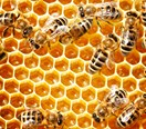Kiwis stealing beehives in honey 'gold rush'