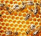 Kiwis stealing beehives in honey 'gold rush'