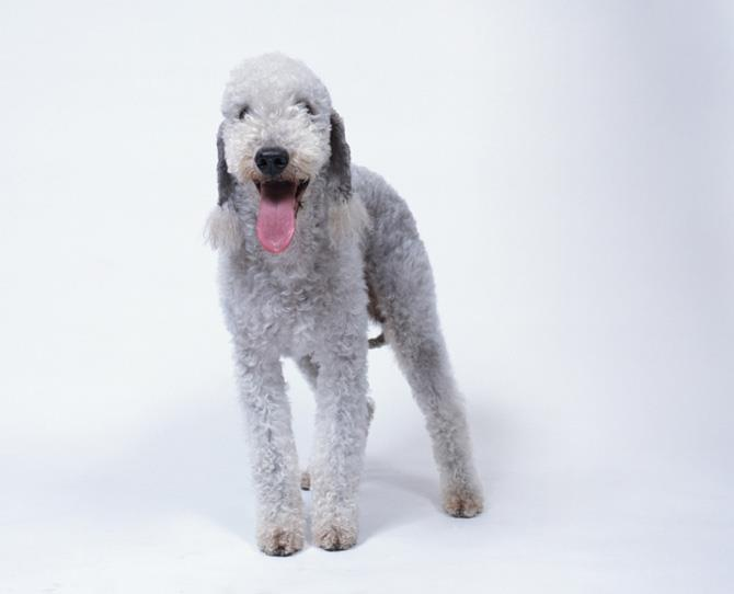 ***BEDLINGTON TERRIER***  You may think you are whistling to a sheep rather than a dog when you take your gorgeously shaggy Bedlington Terrier to the park. They are said to be mild-mannered and suited to a laidback family, but they are avid diggers and barkers so if owners are too passive they can be willful and stubborn. Loving with children and family and fairly friendly with strangers.