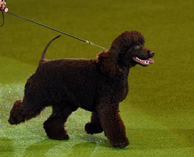***IRISH WATER SPANIEL***  With its loose, curly topknot (that needs frequent attention) and smooth hairless face and tail, this quirky-looking dog is buffered by its love of children but don't expect it to get on with your cat. It has some great personality traits and a devilish shaggy appeal.