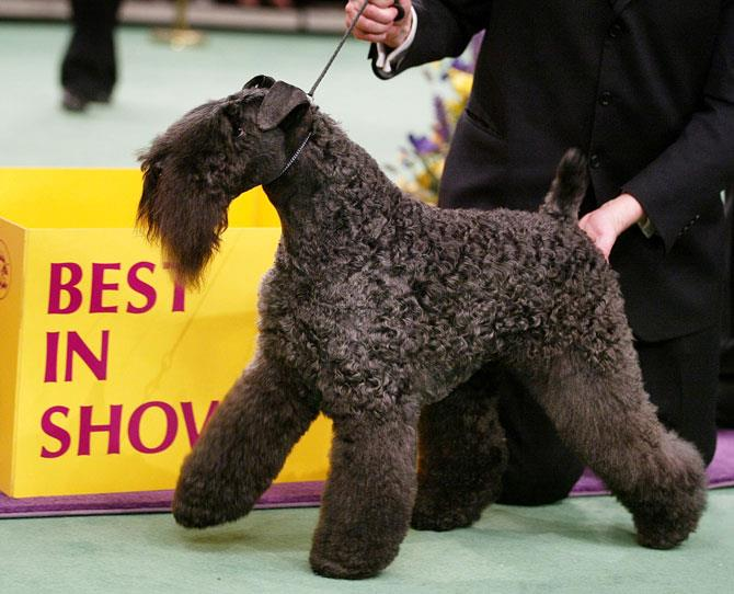 ***KERRY BLUE TERRIER***  Its soft, wavy coat that is black at birth but fades to a blue-grey after 18 months. Originating from County Kerry in Ireland, the Kerry Blue is known for its retrieving skills and ability to hunt small animals (so they may not embrace the family cat!). They're protective and should be extensively 'socialised' otherwise may be a handful. Animated and comical, this non-barker has a rep of making people laugh!