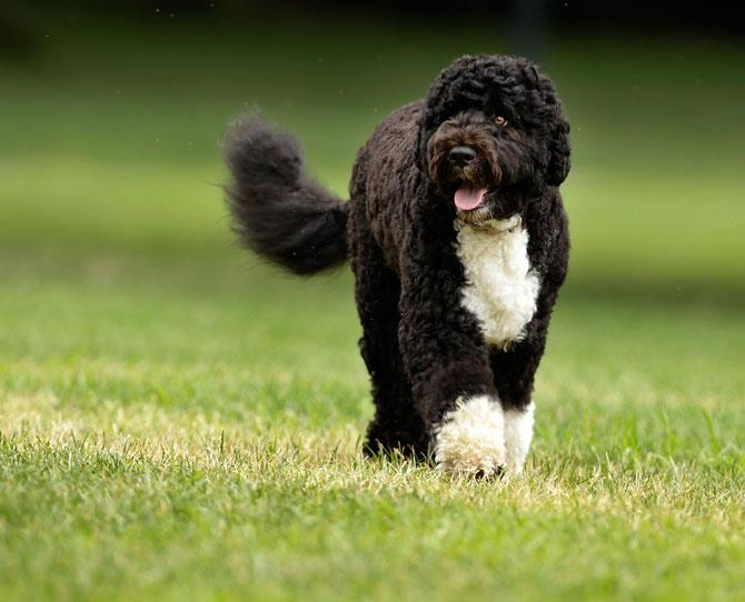 ***PORTUGUESE WATER DOG*** When President Obama went in search of a dog that wouldn't be an issue with daughter Malia's allergies, he and the First Lady decided upon this charismatic breed as, again, it produces minimal dander and hardly sheds hair.  The beautiful First Dog, Bo, is pictured here.