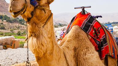Superfood alert: camel milk