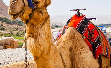 Superfood alert: camel milk