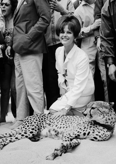 On a beach in Cannes, the Italian actress Claudia  Cardinale posed next to the leopard that she was walking on a leash for the screening of Luschino VISCONTI's film 'The Leopard', in which she played, at Cannes film festival.