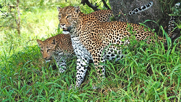 A leopard and cub leave their tree after an afternoon slumber.