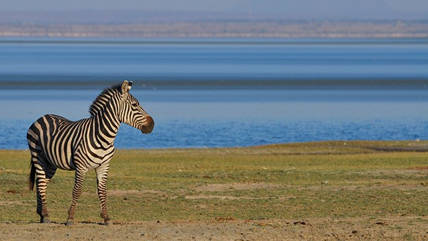 A male zebra at Lake Manyara seems unaware of our safari truck.