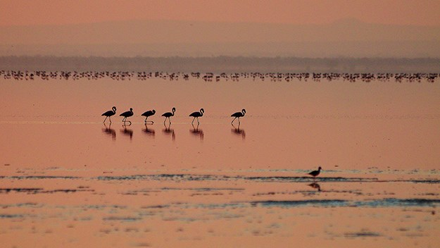 """Come on girls, keep up."" Flamingos at sunset on Lake Manyara."