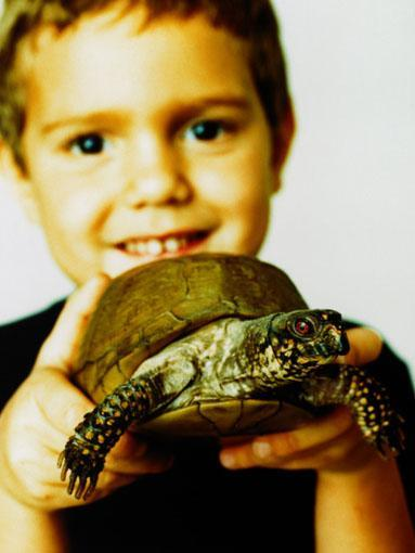 Primary School: Turtle  It is important to remember that the cute tiny baby turtles sold in pet shops in Australia like the Eastern Long-necked turtle can grow to the size of a soccer ball over their 40-year life span and require a lot of attention and care.   Some freshwater turtles also require a permit so it is best to check again with your local council.