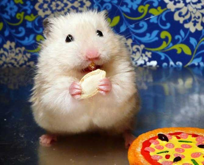 Toddlers: Hamsters  A little bit more independent, is the hamster. It looks like a furry mouse with no tail (a guinea pig is much bigger). Hamsters are highly active, but only at night and like to be alone.  They don't mind being handled but will bite if they get cross.