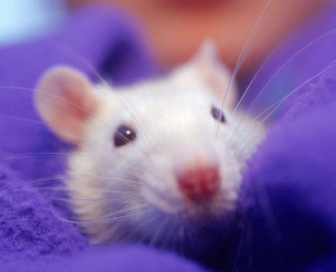 preschoolers: Rats  Rats can make great pets as they are affectionate and bond to humans the same way that dogs do.   Pet rats (not wild rats) are actually quite clean animals, and have plenty of character