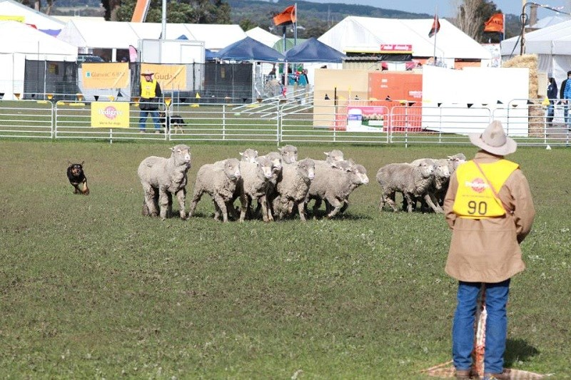 Sheep dog show sheepvention