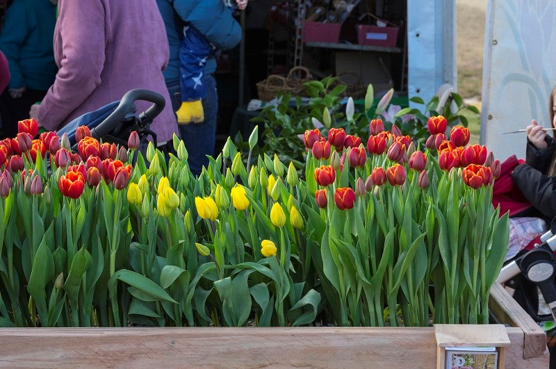 Agfest 2014 tulips