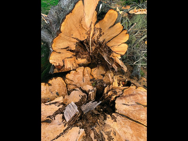 Rotten Macrocarpa High res