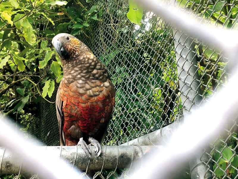 The kaka in the existing aviary will move into the walkthrough aviary in the new centre