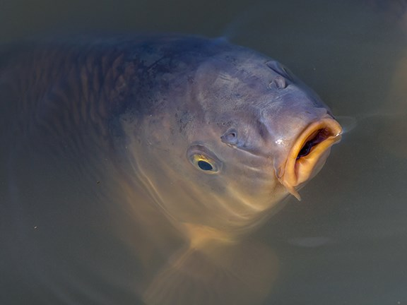 Invasive carp are to be removed from a million square kilometres of Australia's rivers