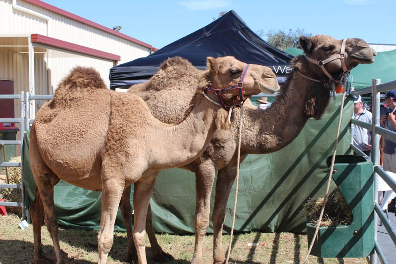 Elmore Field Days 2015 camels