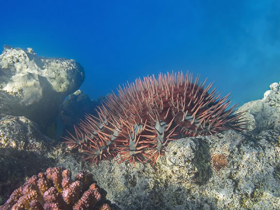Coral-eating crown-of-thorns starfish are helped by nutrient runoff.