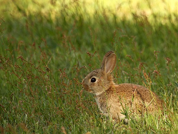 The rabbit problem on mainland Australia dates back to the release of 24 wild rabbits for hunting purposes in Victoria in 1859