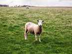 Sheep industry in strongest position for decades
