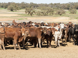 WA livestock transporter faces hefty injury payout