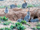 New rabbit virus to be released