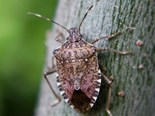 Stink bug biocontrol plan