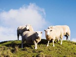 Benefits of sheep milk to be tested in ground-breaking trial
