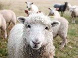World-first sheep facial recognition technology