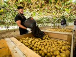 Kiwifruit industry wants more kiwi pickers and packers