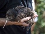 Volvo Ocean Race sailing team releases two kiwi chicks