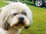 Meet 14 year old Mace the Lhasa Apso