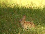 New virus to target feral rabbits