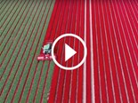 Video: Topping tulips in Holland