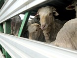 Livestock transport occupies some of the 1,400 trucks that use City Road per day