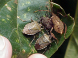 BMSBs on a leaf