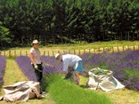 Harvesting at Lake Road Lavender Farm