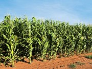 South African grain farmer ventures into new fields