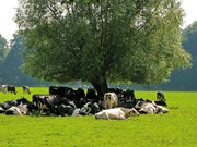 Farm advice: Planning for cool cows in the heat of summer