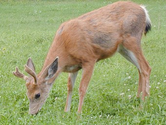 Deer farming initiative wins government support
