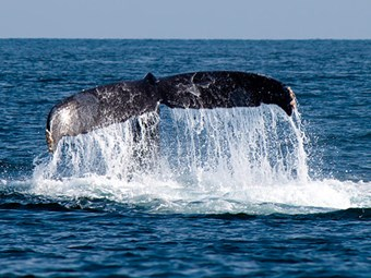 Positive news in latest Cook Strait whale numbers