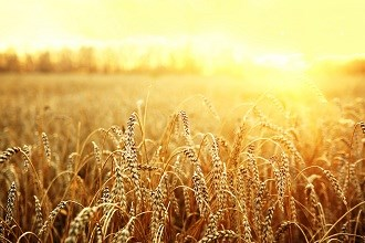 ANZ forecasts strong outlook for grains industry