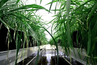 Wimmera wheat breeding centre opens its doors
