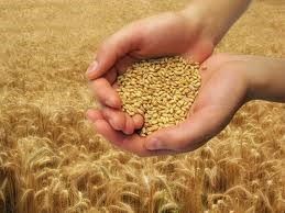 ACCC to intervene on wheat export system