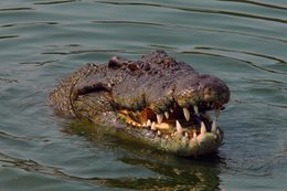 Should Crocodiles be culled?